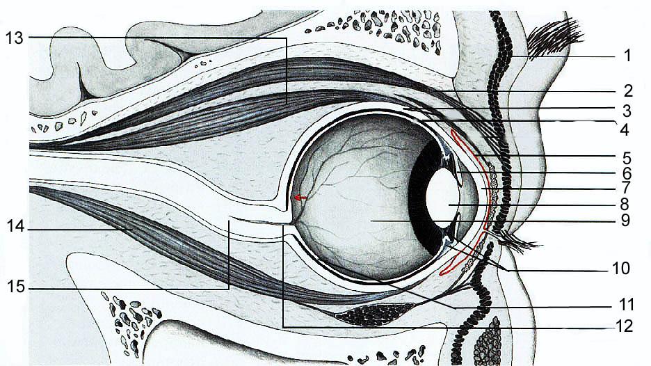 Глазные нервы